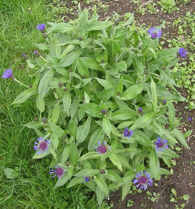 https://flightplot.files.wordpress.com/2012/05/perennial-cornflower-centaurea-montana.jpg?w=671