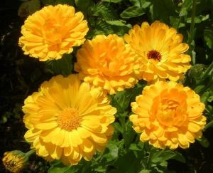 Yellow pot marigolds