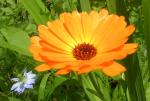 A 'Flighty's favourite' pot marigold