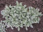 Frosty looking perennial cornflower leaves