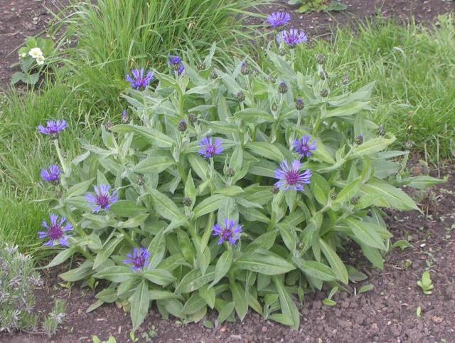 Perennial cornflowers