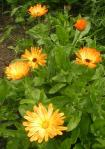 Glowing orange pot marigolds