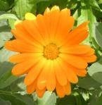Pot marigold 14-13