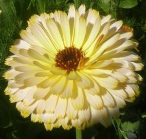 Lovely pot marigold