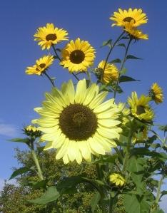 Fran's sunflowers