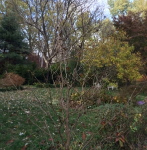 Liz's Stewartia Nov'15 -1