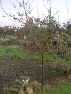 Oak tree Jan'16 - 1