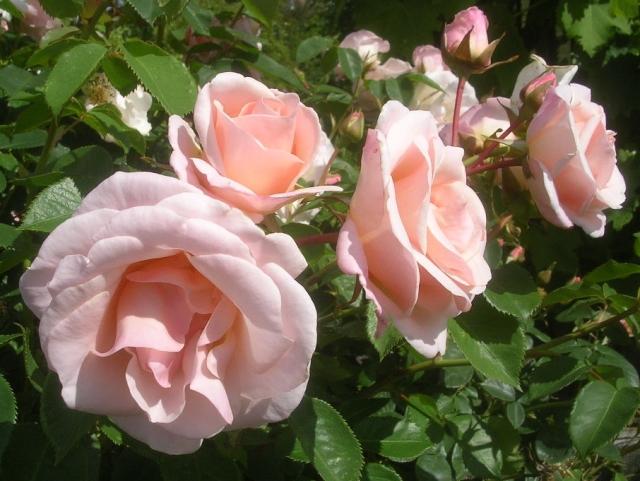 Pretty Lady roses