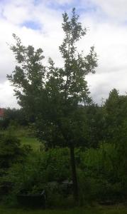 Young oak tree, Jul'16 - 1