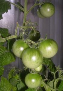 tomatoes-tiny-tim