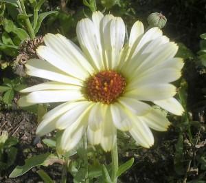 almost-white-pot-marigold